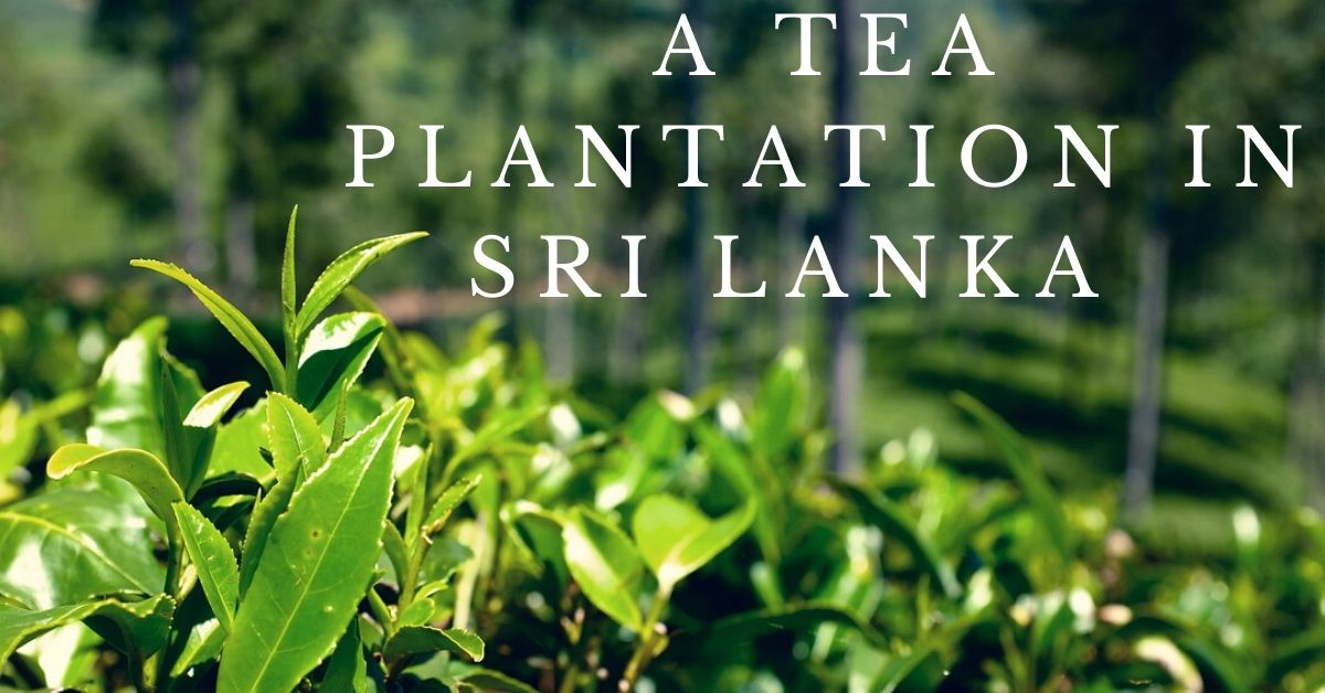 This is a picture of a plantation in Sri Lanka. Make sure your Sri Lanka tour includes a visit to such a plantation because it's an amazing experience.